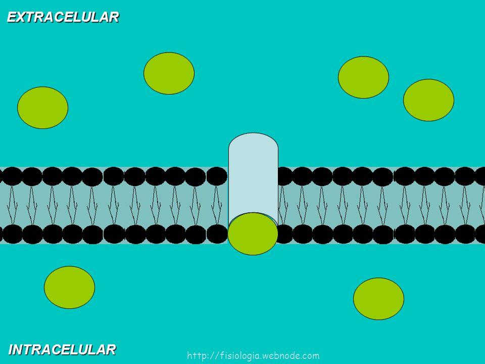 EXTRACELULAR INTRACELULAR http://fisiologia.webnode.com