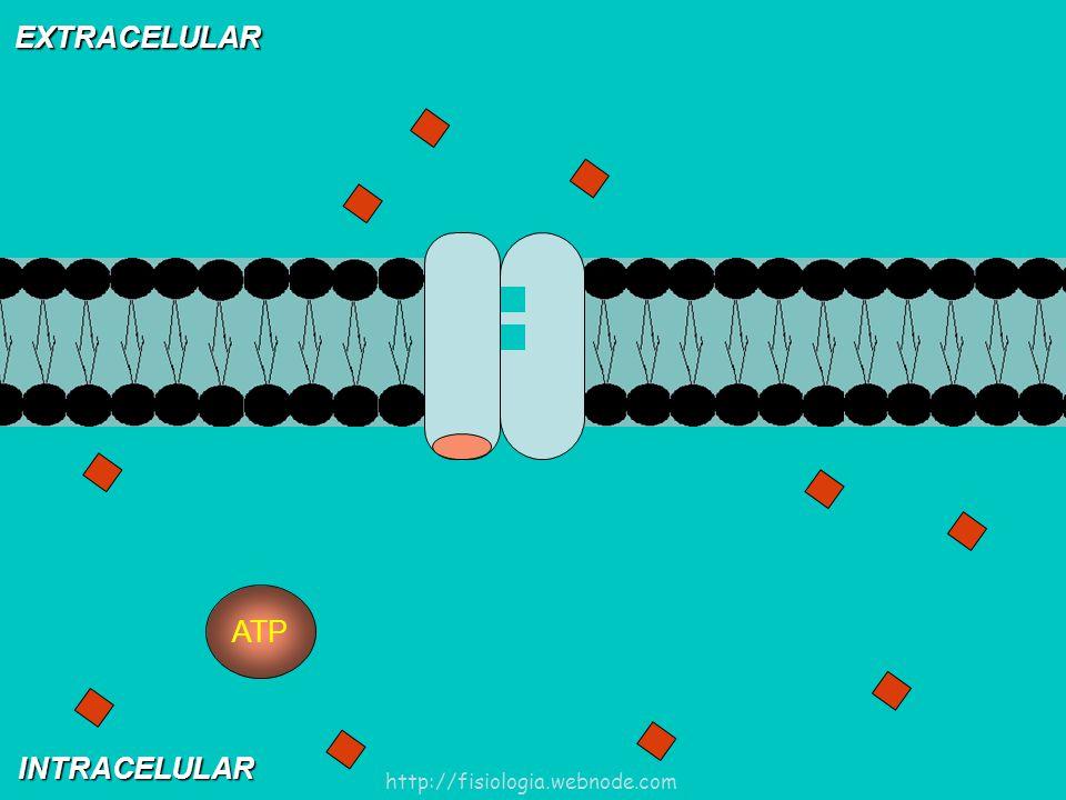 EXTRACELULAR ATP INTRACELULAR http://fisiologia.webnode.com