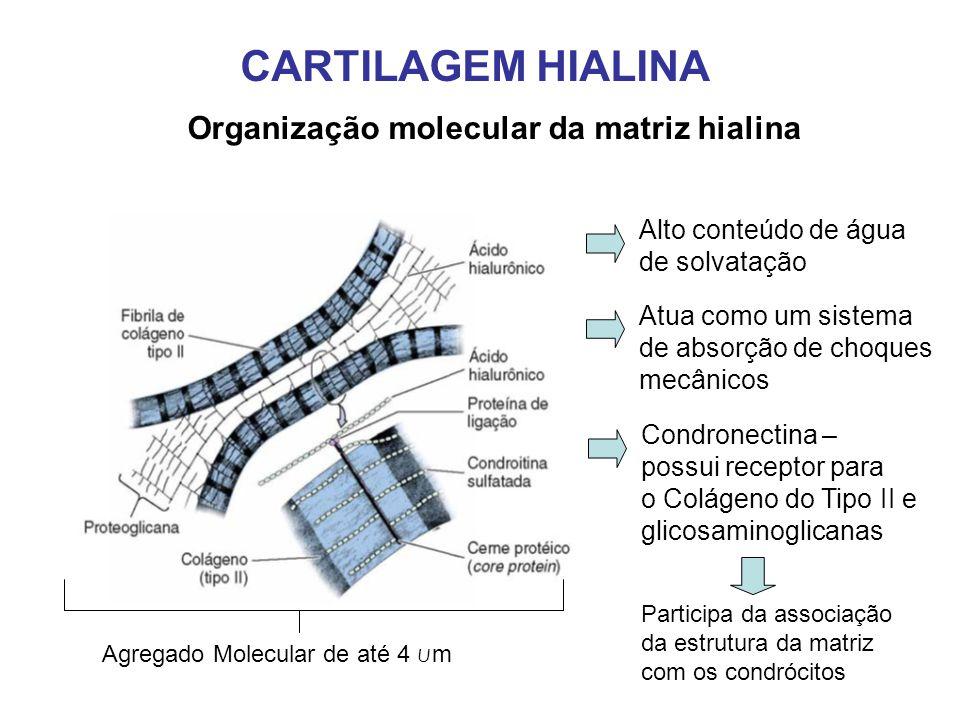 CARTILAGEM HIALINA Organização molecular da matriz hialina