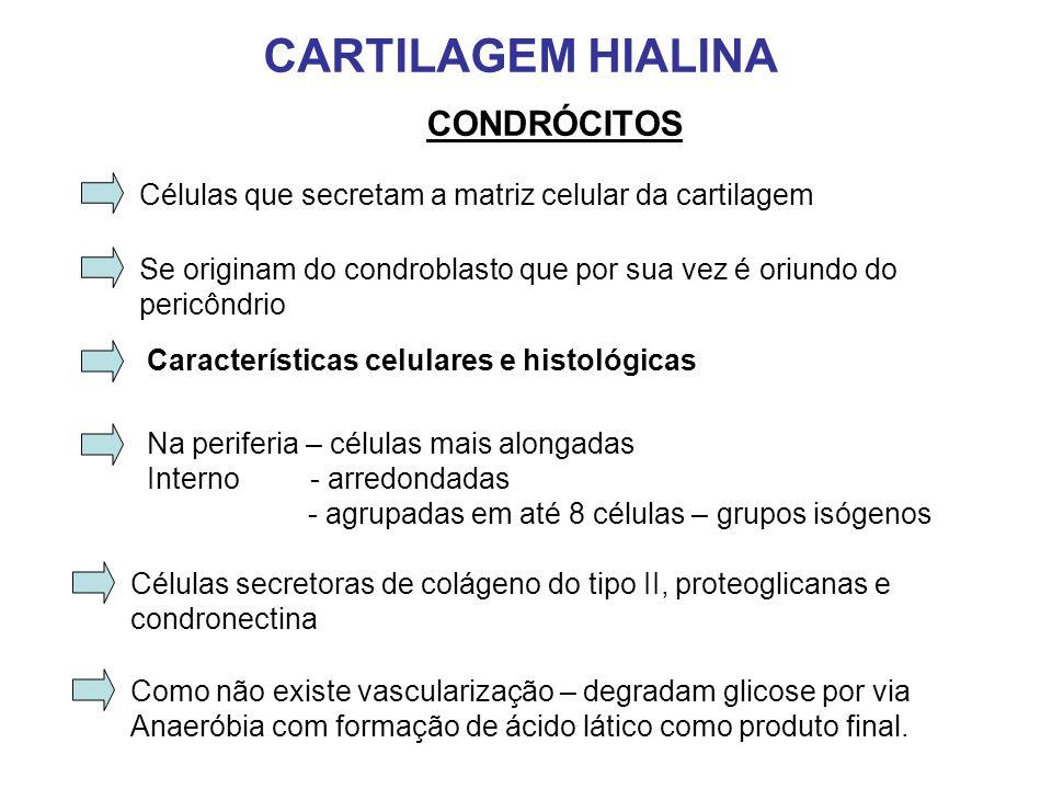 CARTILAGEM HIALINA CONDRÓCITOS