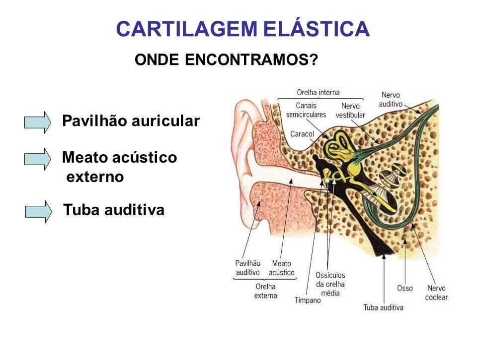 CARTILAGEM ELÁSTICA ONDE ENCONTRAMOS Pavilhão auricular