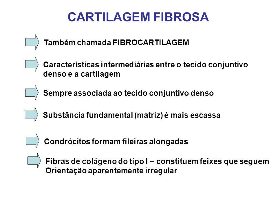 CARTILAGEM FIBROSA Também chamada FIBROCARTILAGEM