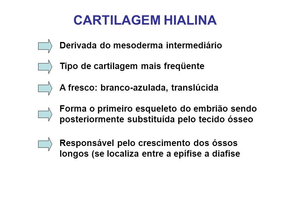 CARTILAGEM HIALINA Derivada do mesoderma intermediário