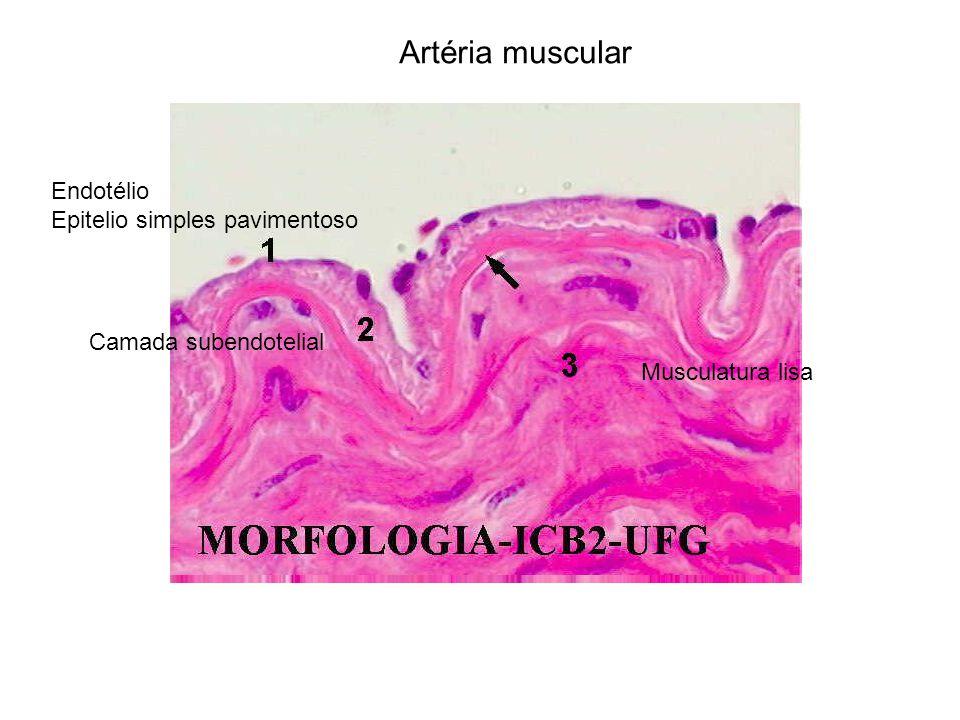 Artéria muscular Endotélio Epitelio simples pavimentoso