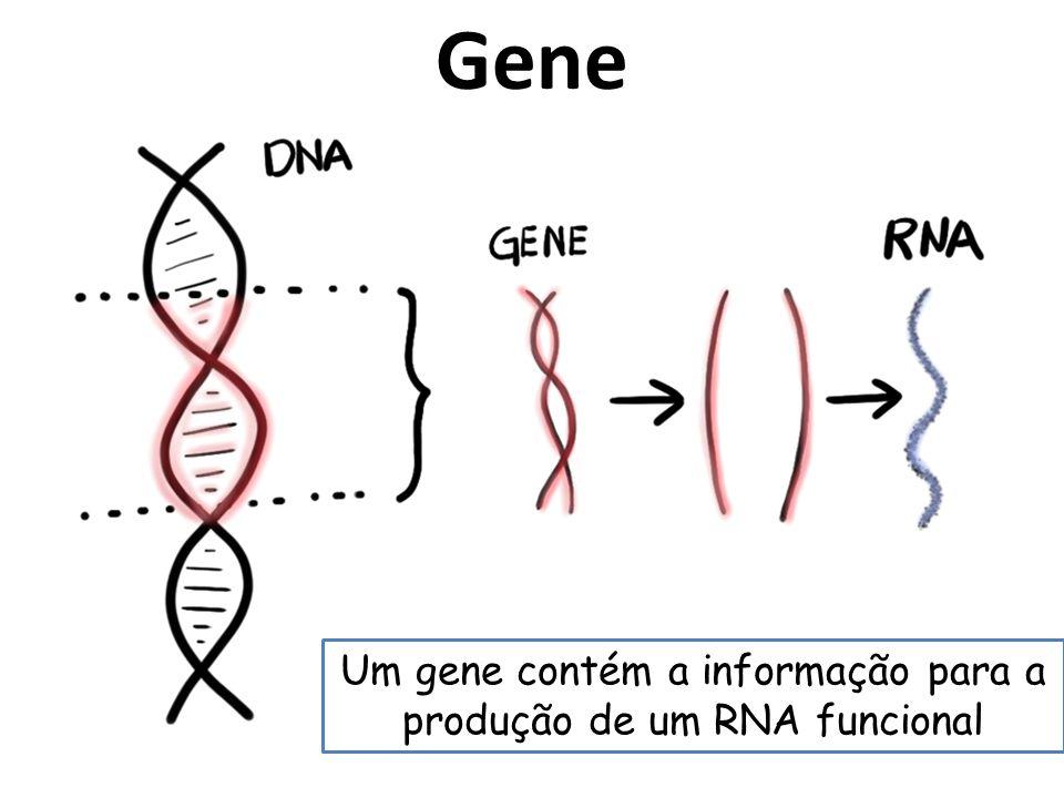Um gene contém a informação para a produção de um RNA funcional