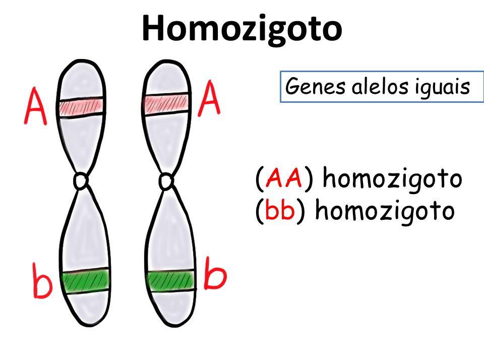 Homozigoto Genes alelos iguais (AA) homozigoto (bb) homozigoto