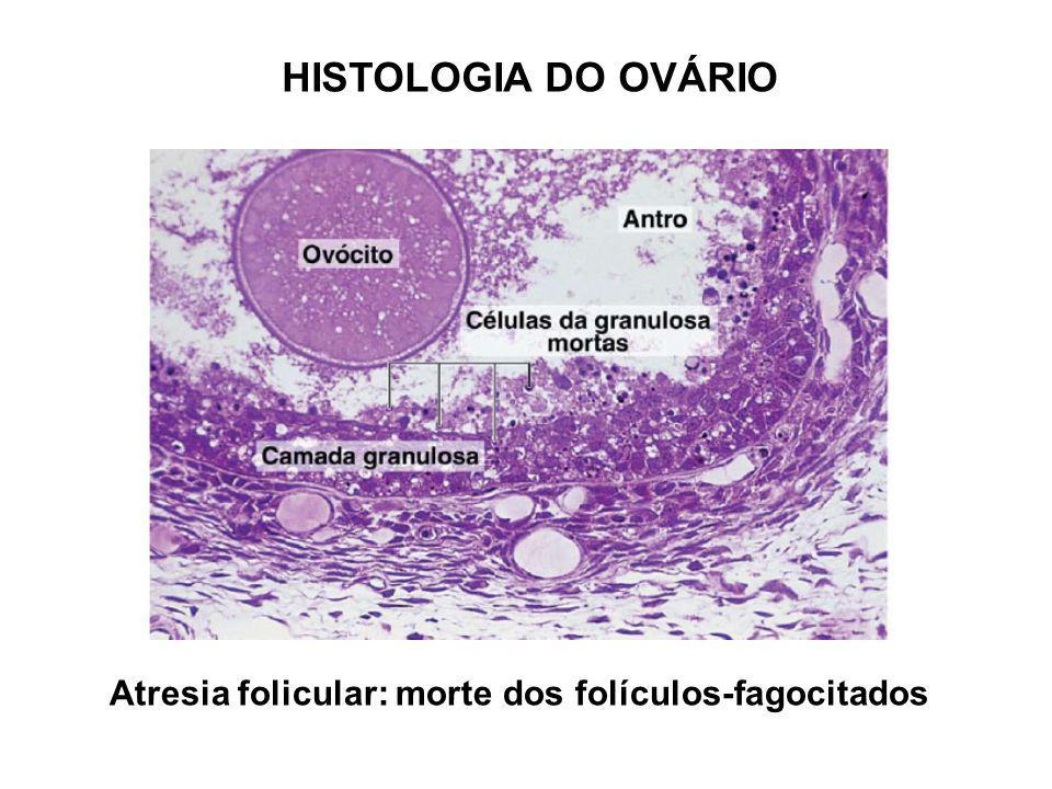 HISTOLOGIA DO OVÁRIO Atresia folicular: morte dos folículos-fagocitados