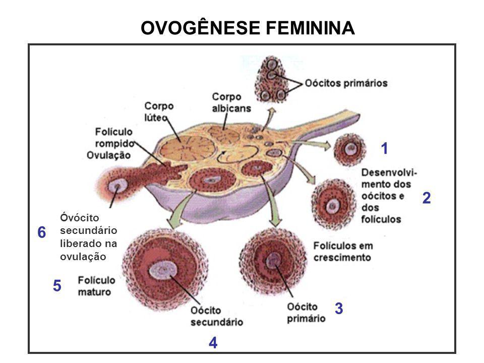 OVOGÊNESE FEMININA 1 2 3 4 5 6 Óvócito secundário liberado na ovulação