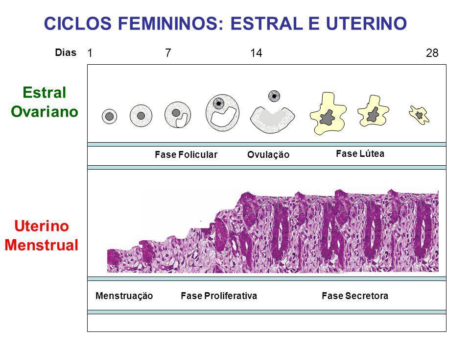 CICLOS FEMININOS: ESTRAL E UTERINO