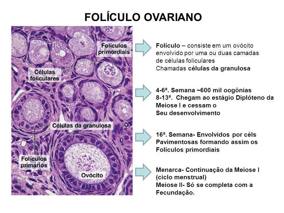 FOLÍCULO OVARIANO Folículo – consiste em um ovócito envolvido por uma ou duas camadas de células foliculares.
