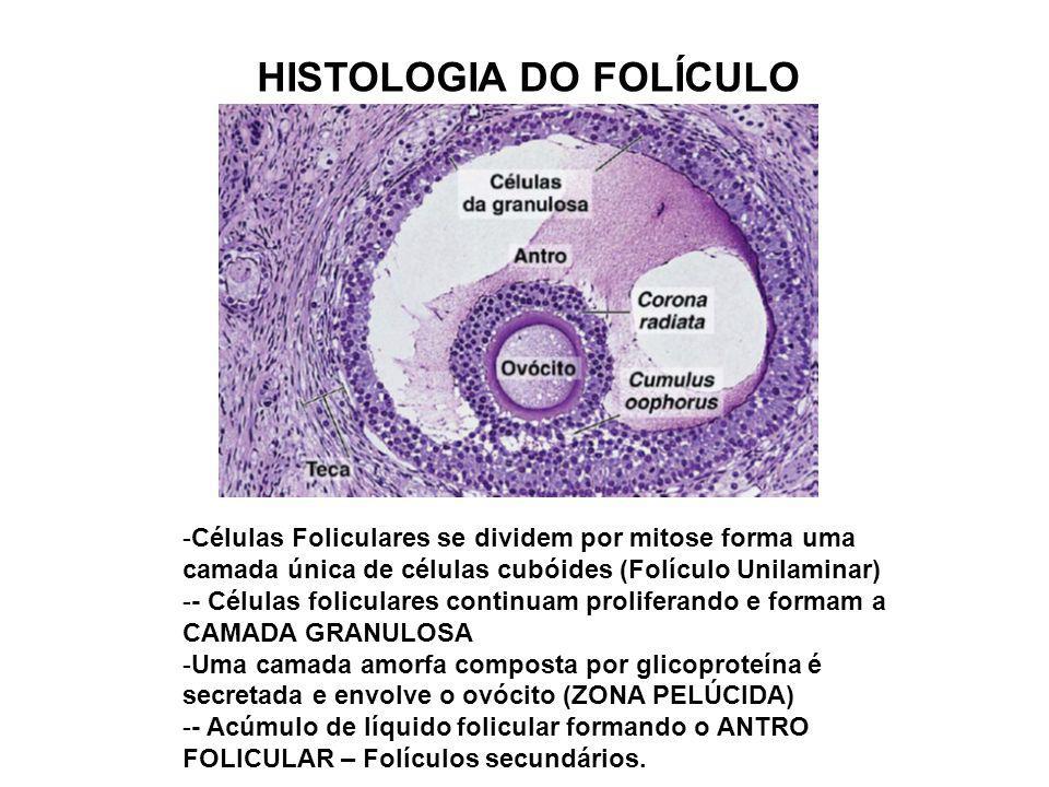 HISTOLOGIA DO FOLÍCULO