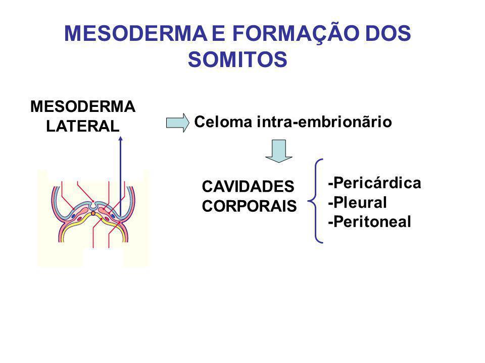 MESODERMA E FORMAÇÃO DOS SOMITOS