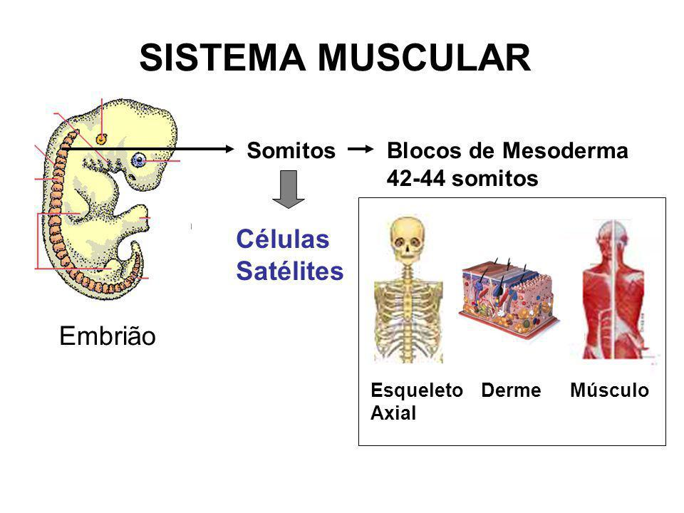 SISTEMA MUSCULAR Células Satélites Embrião Somitos Blocos de Mesoderma