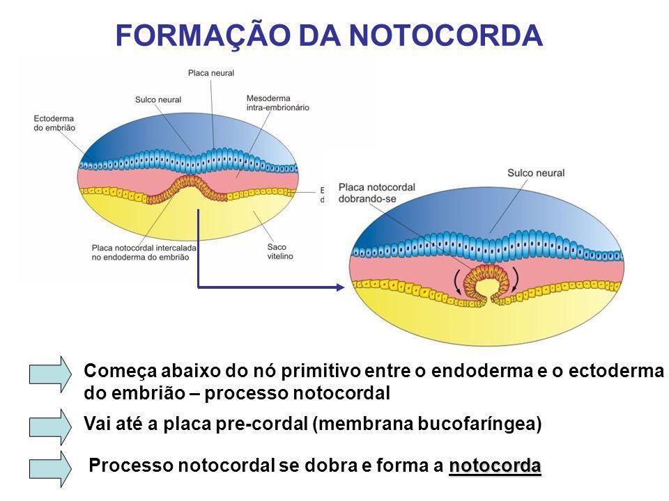 FORMAÇÃO DA NOTOCORDA Começa abaixo do nó primitivo entre o endoderma e o ectoderma. do embrião – processo notocordal.