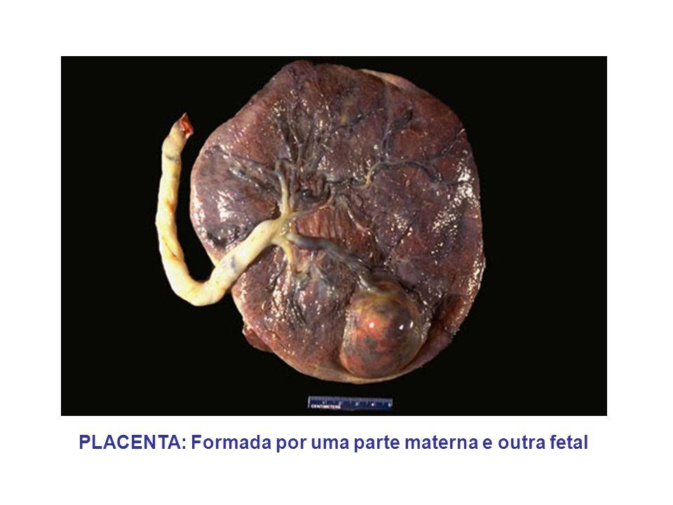 PLACENTA: Formada por uma parte materna e outra fetal