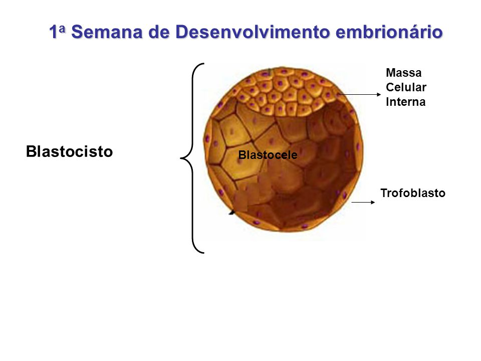1a Semana de Desenvolvimento embrionário