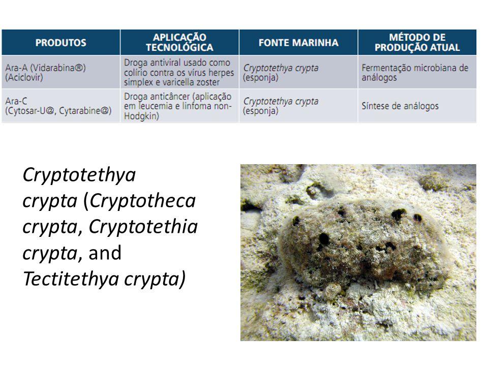 Cryptotethya crypta (Cryptotheca crypta, Cryptotethia crypta, and Tectitethya crypta)
