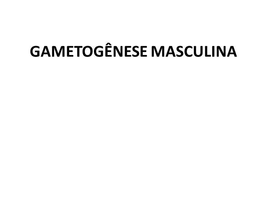 GAMETOGÊNESE MASCULINA