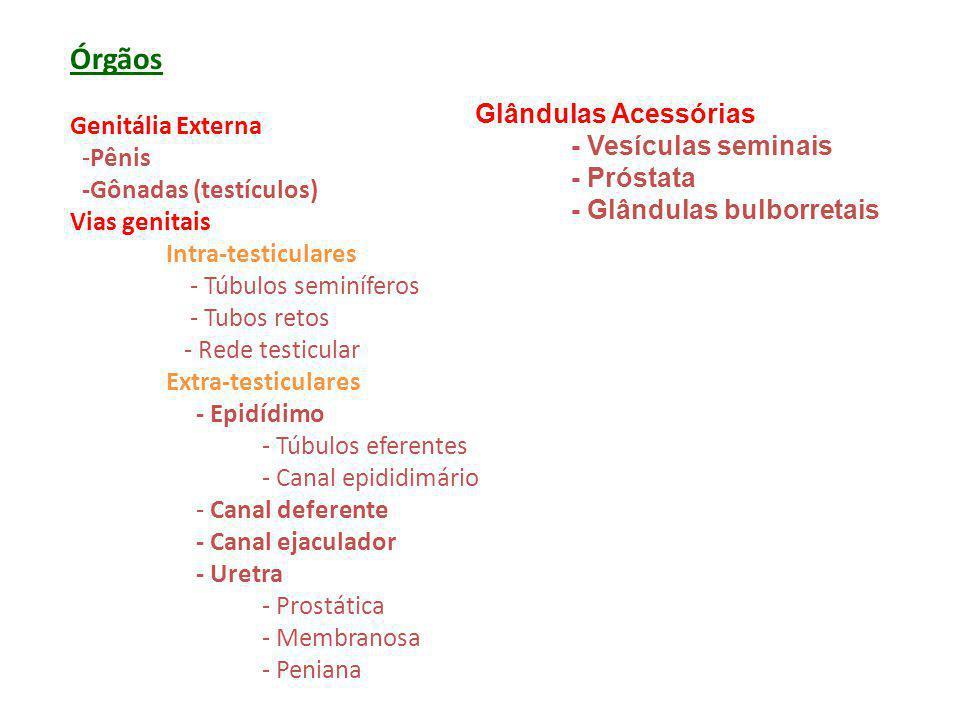 Órgãos Genitália Externa Glândulas Acessórias -Pênis