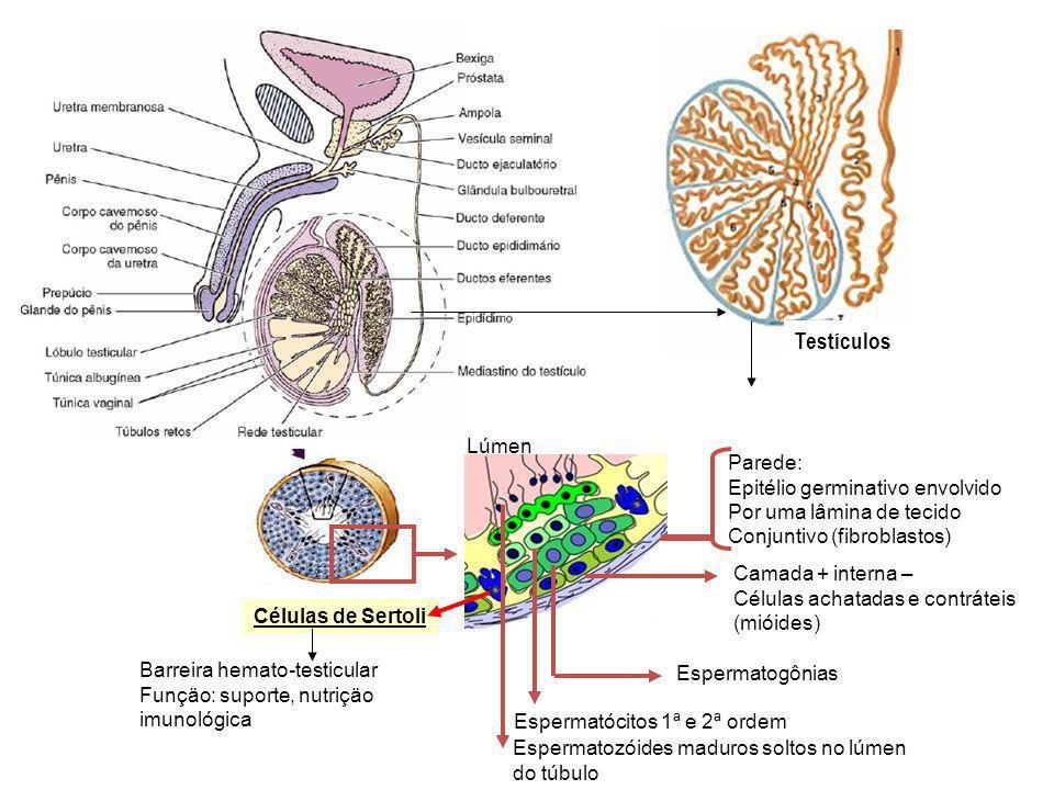 Testículos Lúmen Parede: Epitélio germinativo envolvido
