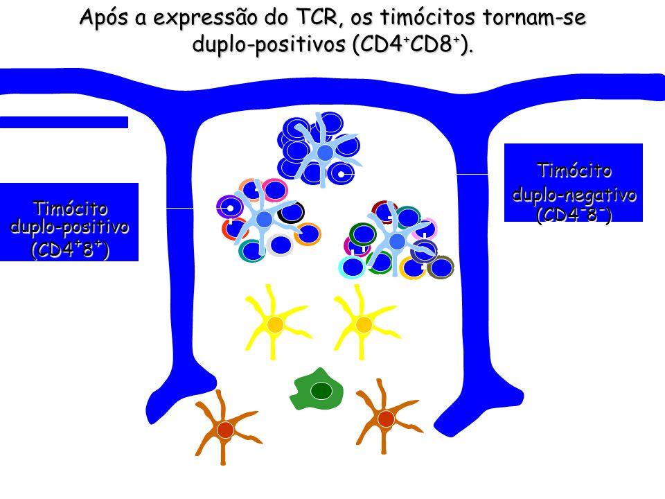 Após a expressão do TCR, os timócitos tornam-se duplo-positivos (CD4+CD8+).