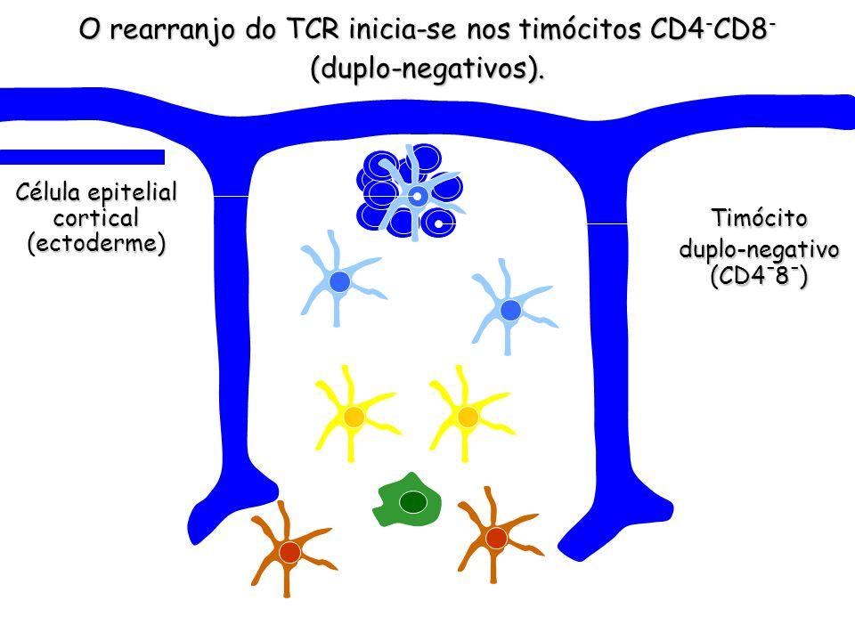 O rearranjo do TCR inicia-se nos timócitos CD4-CD8- (duplo-negativos).