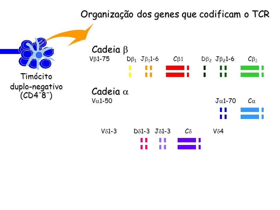 Organização dos genes que codificam o TCR