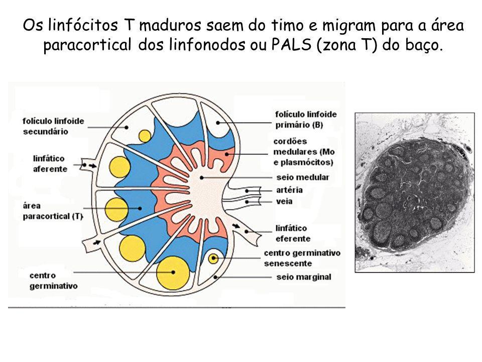 Os linfócitos T maduros saem do timo e migram para a área paracortical dos linfonodos ou PALS (zona T) do baço.