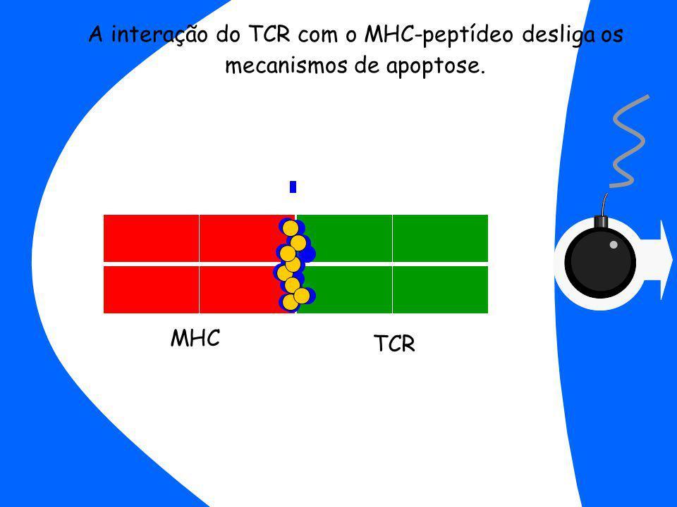 A interação do TCR com o MHC-peptídeo desliga os mecanismos de apoptose.