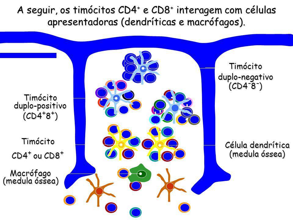 Macrófago (medula óssea) A seguir, os timócitos CD4+ e CD8+ interagem com células apresentadoras (dendríticas e macrófagos).
