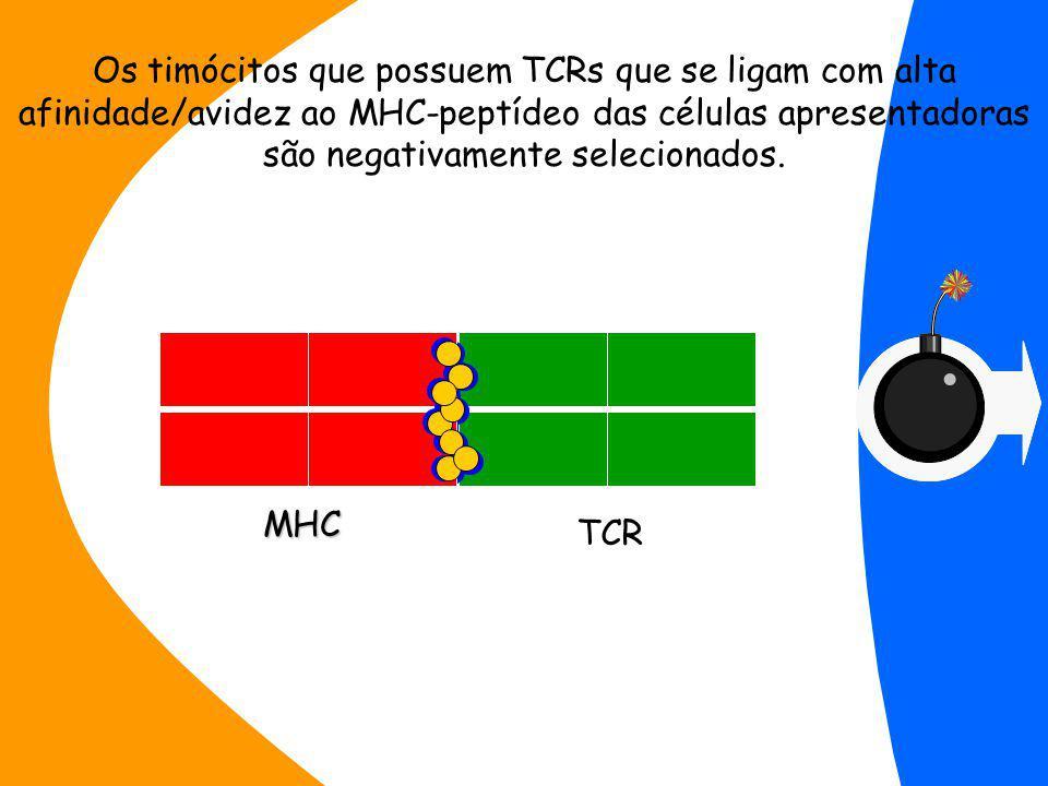 MHC Os timócitos que possuem TCRs que se ligam com alta afinidade/avidez ao MHC-peptídeo das células apresentadoras são negativamente selecionados.