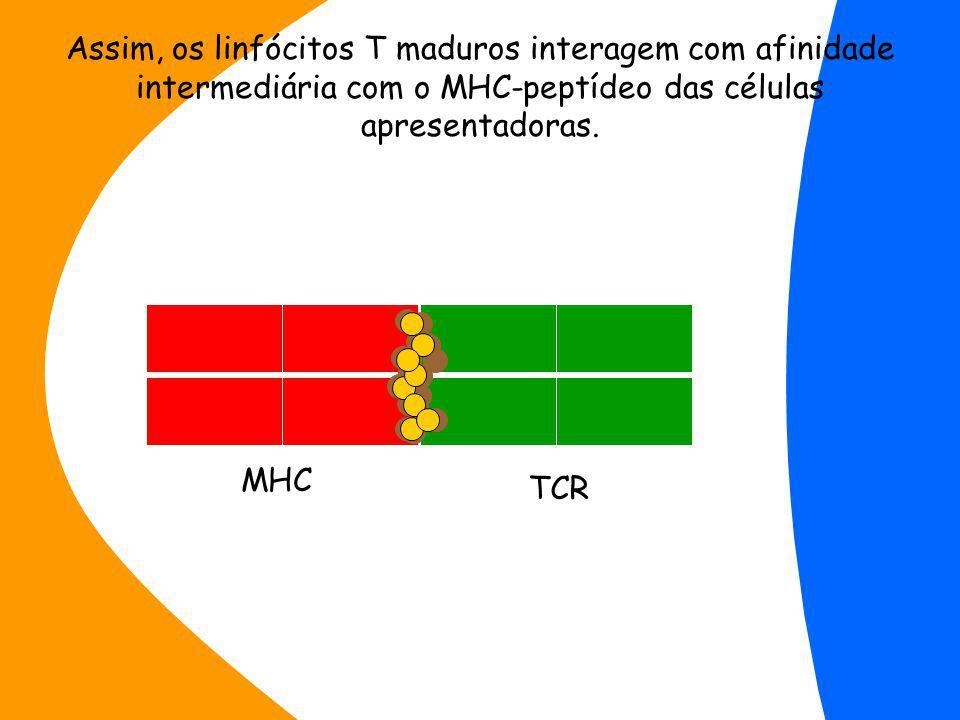 Assim, os linfócitos T maduros interagem com afinidade intermediária com o MHC-peptídeo das células apresentadoras.