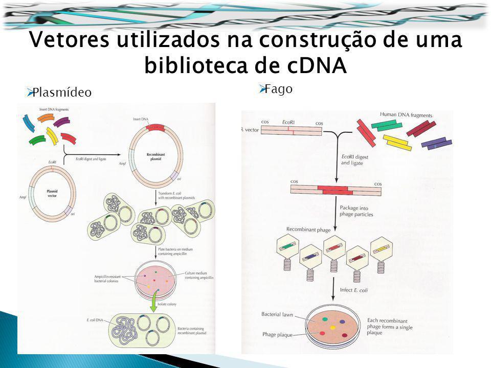 Vetores utilizados na construção de uma biblioteca de cDNA