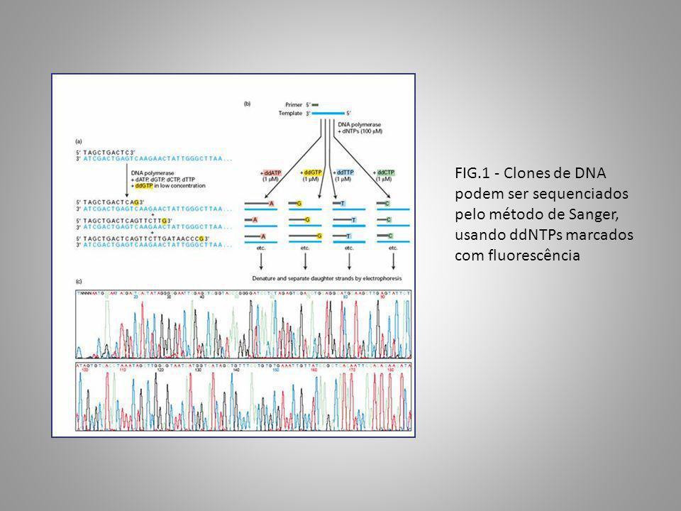 FIG.1 - Clones de DNA podem ser sequenciados pelo método de Sanger, usando ddNTPs marcados com fluorescência