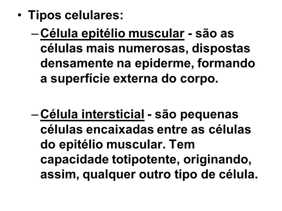 Tipos celulares: Célula epitélio muscular - são as células mais numerosas, dispostas densamente na epiderme, formando a superfície externa do corpo.