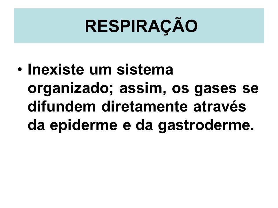 RESPIRAÇÃO Inexiste um sistema organizado; assim, os gases se difundem diretamente através da epiderme e da gastroderme.