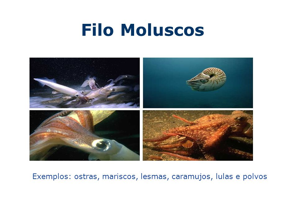 Armario Ingles Wordreference ~ Filo Moluscos Exemplos ostras, mariscos, lesmas, caramujos, lulas e polvos ppt video online