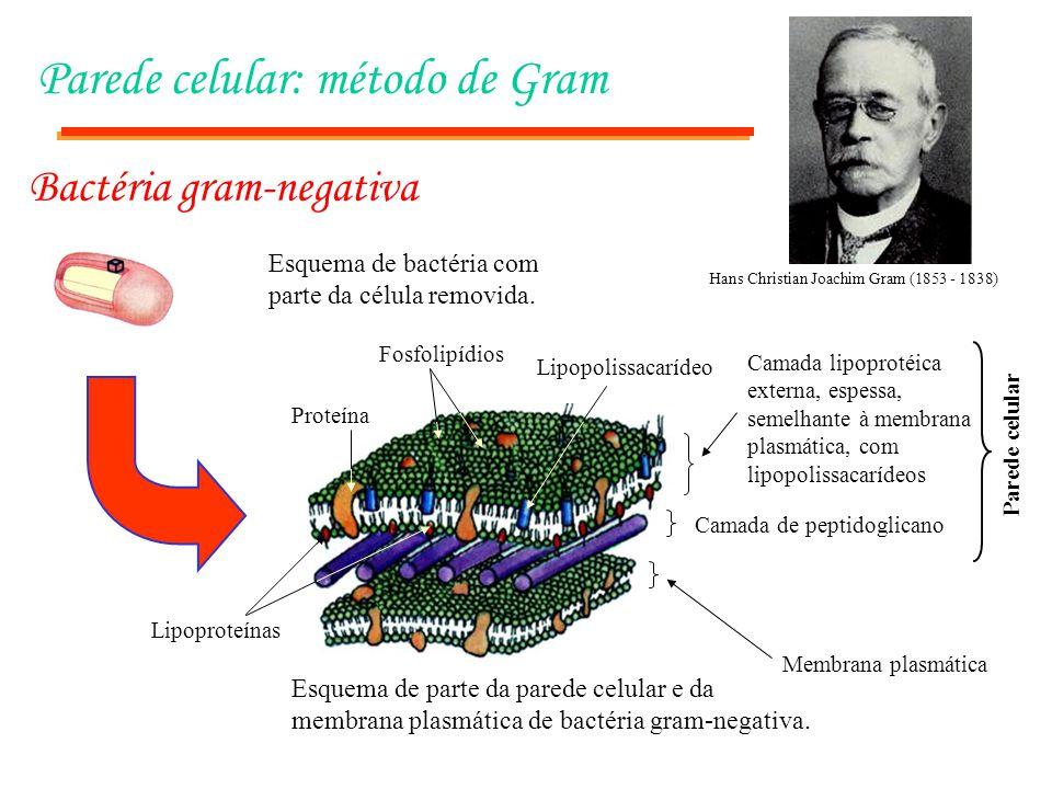 Parede celular: método de Gram
