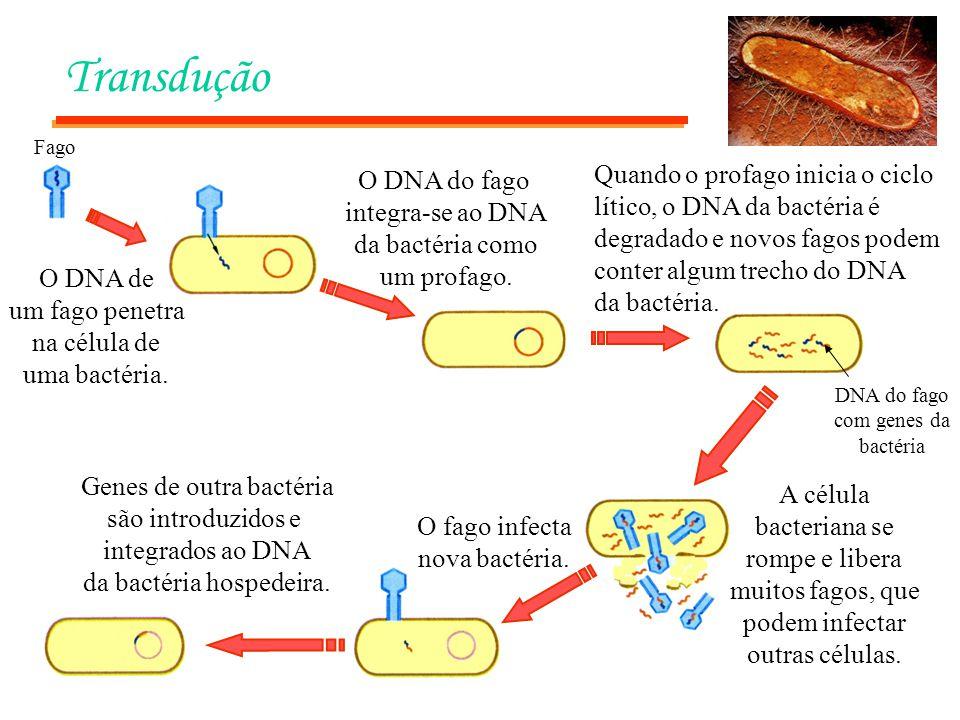 Transdução Fago. Quando o profago inicia o ciclo lítico, o DNA da bactéria é degradado e novos fagos podem conter algum trecho do DNA da bactéria.