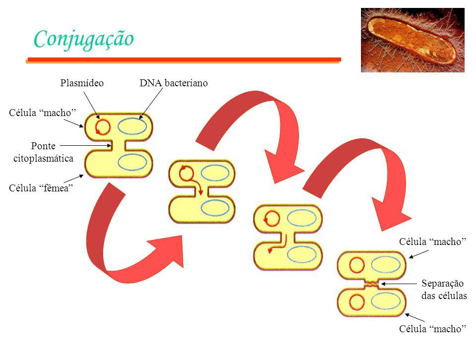 Conjugação Plasmídeo DNA bacteriano Célula macho