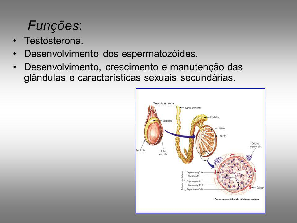 Funções: Testosterona. Desenvolvimento dos espermatozóides.