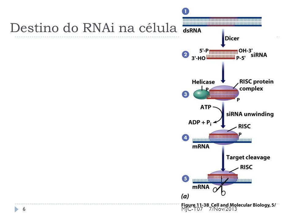 Destino do RNAi na célula