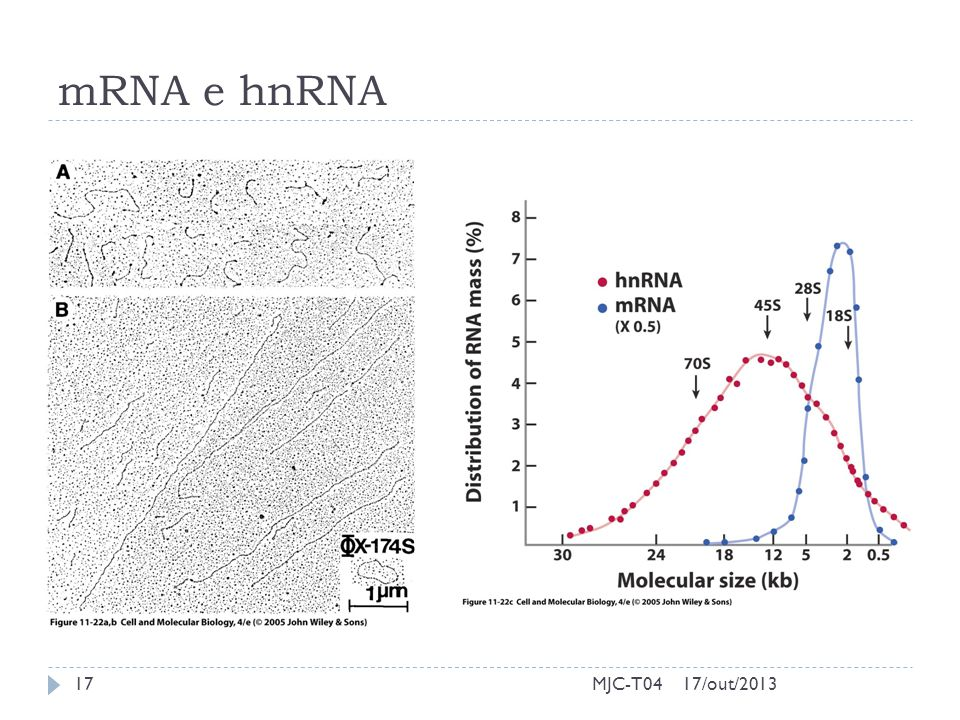 mRNA e hnRNA MJC-T04 17/out/2013