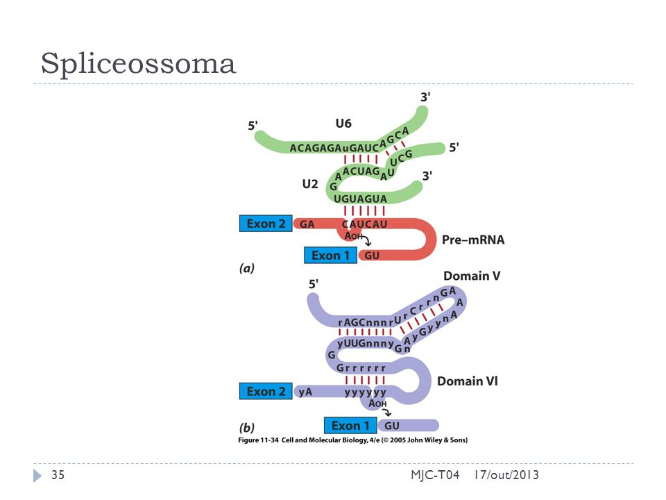Spliceossoma MJC-T04 17/out/2013