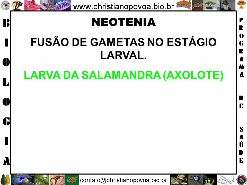 FUSÃO DE GAMETAS NO ESTÁGIO LARVAL. LARVA DA SALAMANDRA (AXOLOTE)