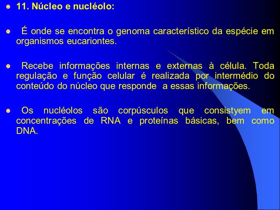 11. Núcleo e nucléolo: É onde se encontra o genoma característico da espécie em organismos eucariontes.