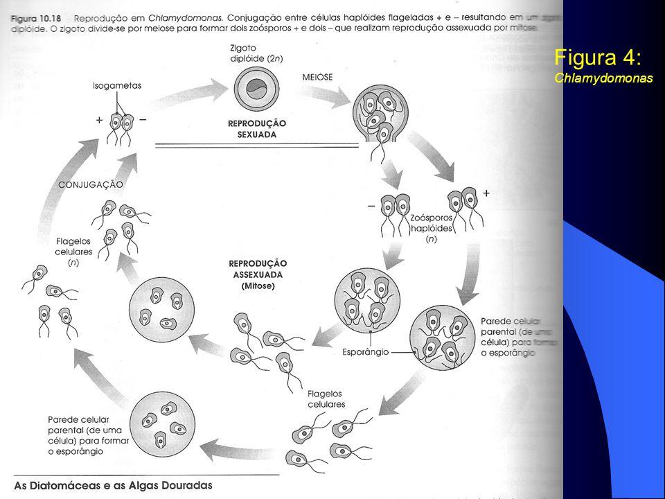 Figura 4: Chlamydomonas