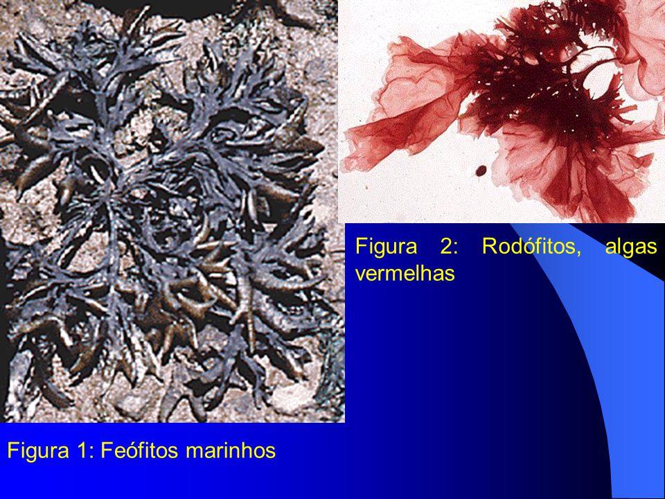 Figura 2: Rodófitos, algas vermelhas