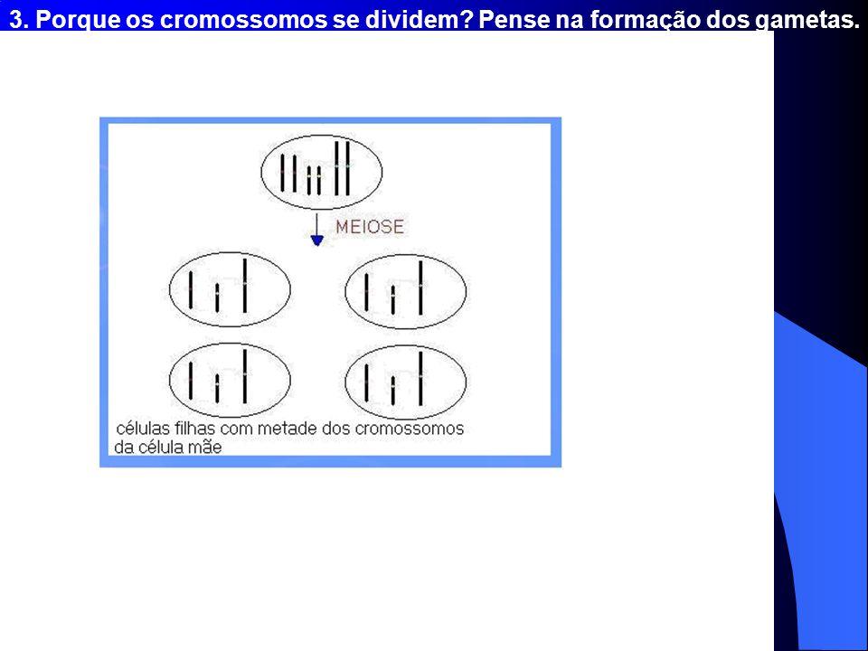 3. Porque os cromossomos se dividem Pense na formação dos gametas.