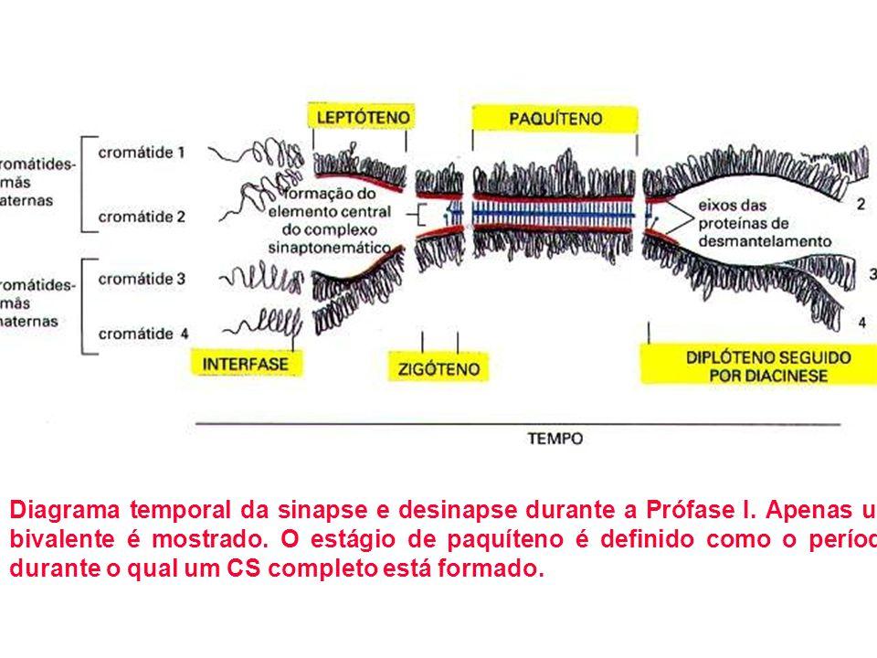 Diagrama temporal da sinapse e desinapse durante a Prófase I